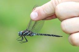 Une libellule rare identifiée du côté de la Berra