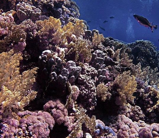 Des coraux extrêmement résistants